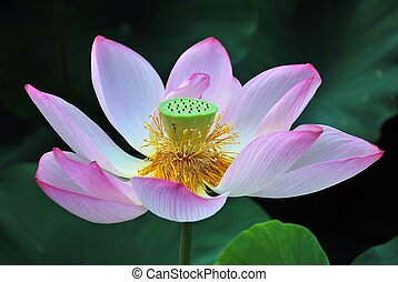 Lotus flower in full bloom, symbolizing religion, buddhism,...