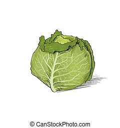 cabbage color sketch draw isolated over white background...