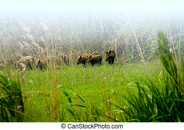 Wild boars - Early in the morning the herd of wild wild...