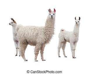 Female llama with baby - Three llamas on the side of white...
