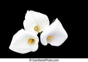 Calla lilies close-up on a black background