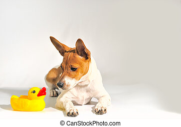 Duckling - The small doggie lays on a white background with...