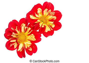 Yellow and red dahlia on white