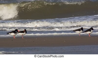 oystercatcher - at the beach