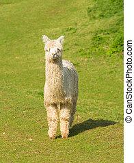 Alpaca South American camelid resembles small llama coat...