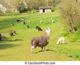 Herd of Alpacas in field