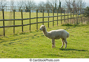 Alpaca South American camelid llama - Alpaca South American...