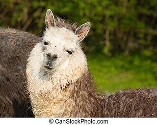 piękny, portret, Alpaka,  CÙte
