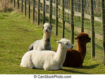 Group of Alpacas lying down resting