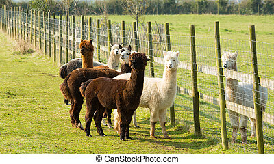 Group of Alpacas stood by fence