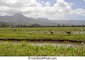 Taro fields in the island of Kauai - Scenic view of green...