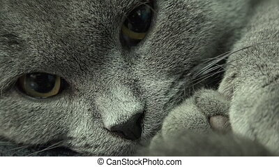 Beautiful Scottish Fold Grey Cat Closeup - Scottish Fold Cat...