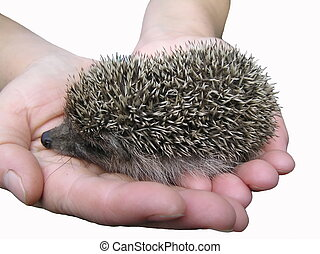 A hedgehog is in hands. - A hedgehog easily gets used to the...