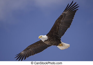 bald eagle soars - A bald eagle soars against a mainly blue...