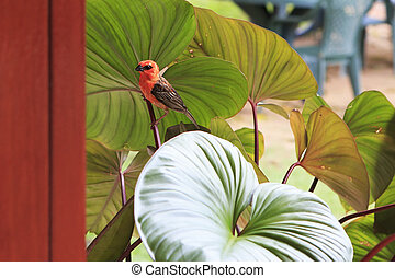 Male Red fody sits on a plant. Praslin Island, Seychelles.
