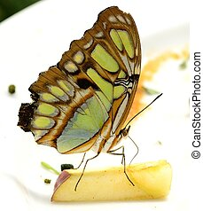 Malachite butterfly eating apple - A beautiful malachite...