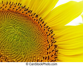 A sunflower flowers. - Inflorescence of sunflower is...