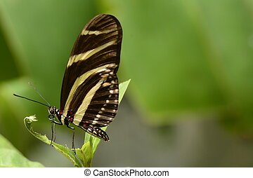 Zebra longwing butterfly Heliconia charithonia on a plant