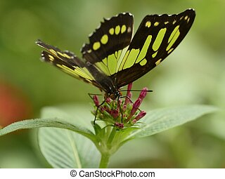 Malachite butterfly Siproeta stelens on pink flowers close...