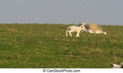 sheeps in springtime - lambs