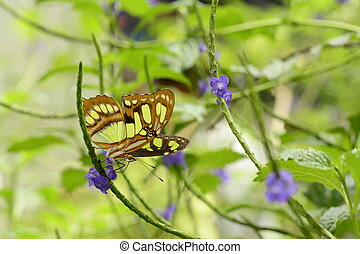 Malachite butterfly Siproeta stelens on purple flower