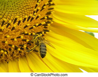 Bee on inflorescence of sunflower. - The flowers of...