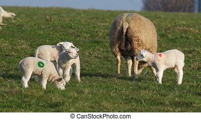sheeps in springtime - lambs