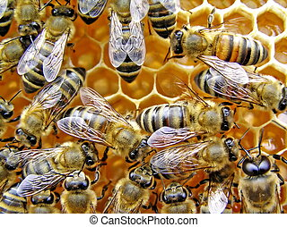 Young bees - Easily to know young bees on beautiful,...