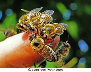 Bees on the finger of hand. - Bees on the finger of hand of...