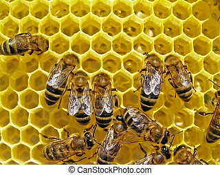 Bees build honeycombs. - Bees build honeycombs is a cell for...