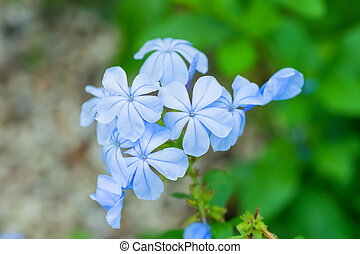 Leadwort, Plumbago, South Africa