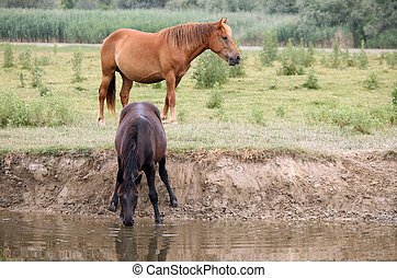 thirsty horses at the watering place