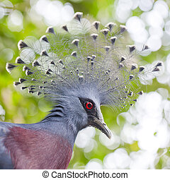 Victoria Crowned Pigeon Goura victoria close up