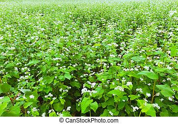 Buckwheat field