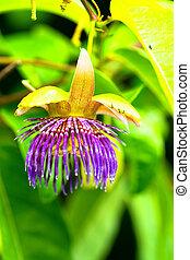Passiflora laurifolia, ,Passifloraceae, Brazil