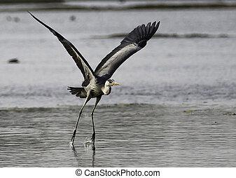 Taking off - Grey heron taking off