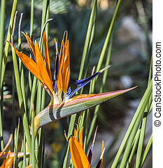 Bird of Paradise - beautiful Bird of Paradise flower,...