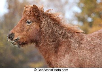 Young shetland pony in autumn - Portrait of young shetland...