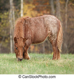 Young shetland pony in autumn - Young shetland pony standing...
