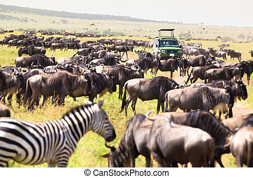 Jeeps on african wildlife safari - Big herds of wilderbeests...