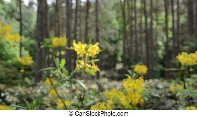 yellow rhododendron bloom - move near yellow rhododendron...