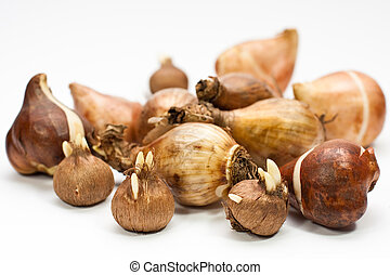 flower bulbs - tulip bulbs, daffodil bulbs and crocus bulbs