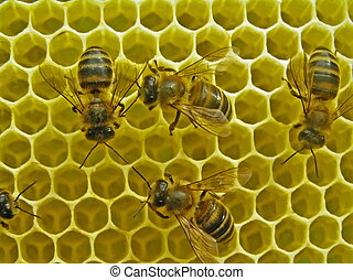 Life of insects. Bees build honeycombs.
