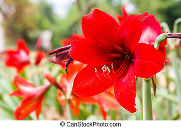 Hippeastrum in the garden