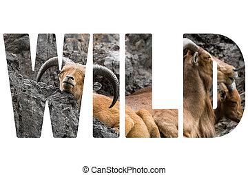 Word WILD over West caucasian tur goat
