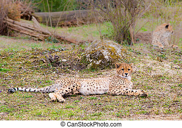 Beautiful Cheetah Gepard, Acinonyx jubatus lying down on...