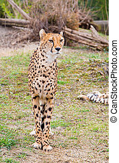 Beautiful Cheetah Gepard, Acinonyx jubatus standing on green...