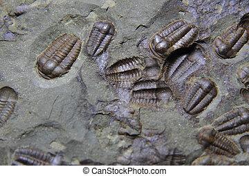 Trilobite, fósil, como, muy, agradable, Plano de...