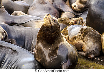Pacific Northwest Sea Lions and Seals - Close up of sea...