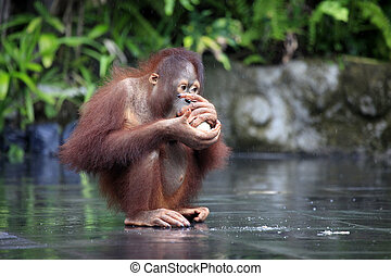 Young orangutan with a nut of a coco. Bali zoo. Indonesia